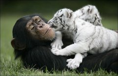 anjana-the-chimpanzee-and-two-tigers-8
