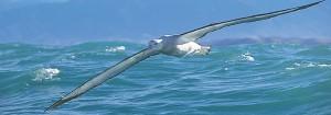 AlbatrossWanderer1