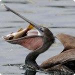 Brūnais Kalifornijas pelikāns