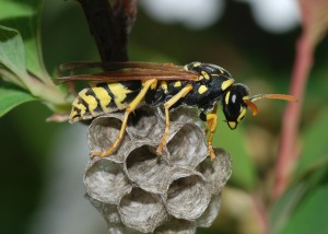 Wasp_March_2008-3 (1)