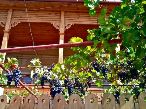 Grapes_in_Mtskheta